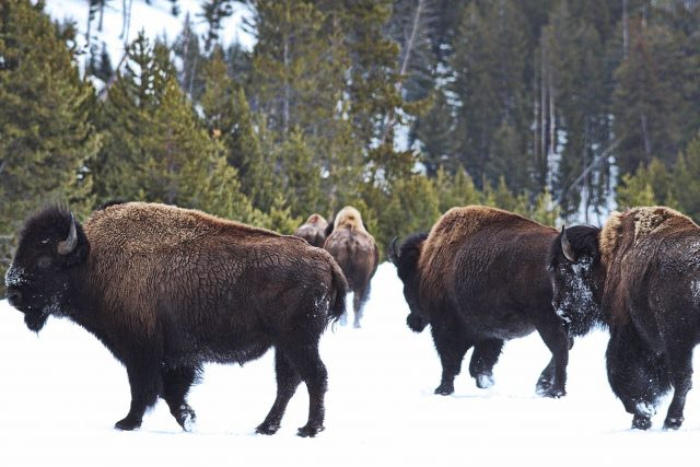 buffalo-in-north-america